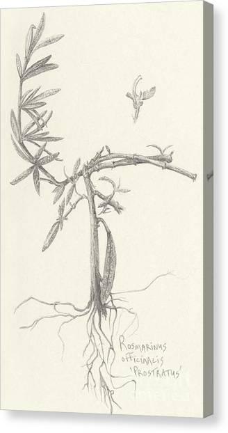 Three Herbs - Rosemary Canvas Print