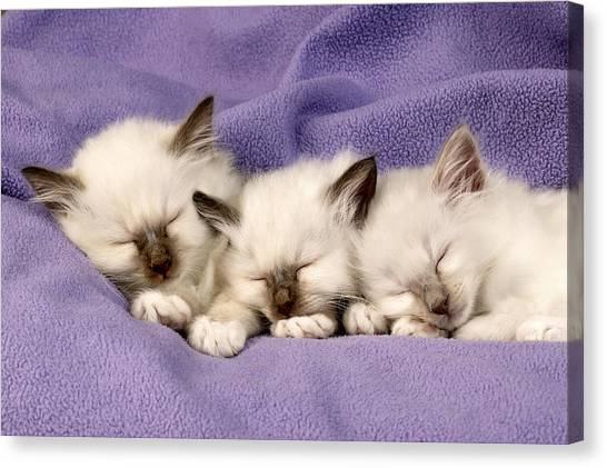 Birmans Canvas Print - Three Kittens Sleeping by Greg Cuddiford