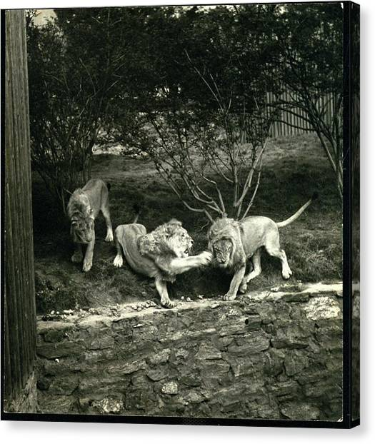 Three Lions At The Bronx Zoo In New York Canvas Print by Toni Frissell