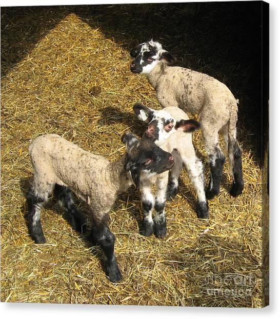 Three Little Lambs In Spring Sunshine Canvas Print