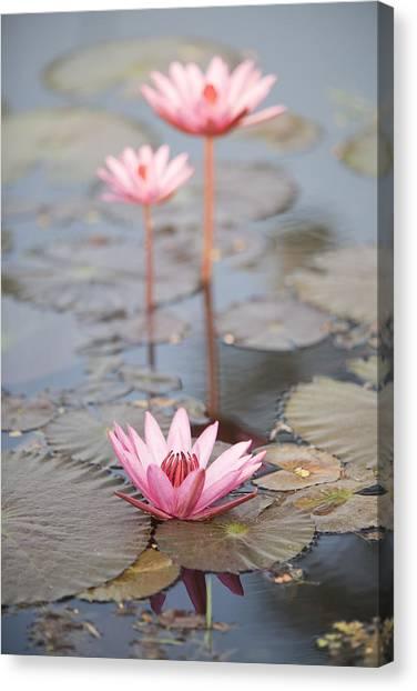 Three Lotus Flowers Canvas Print