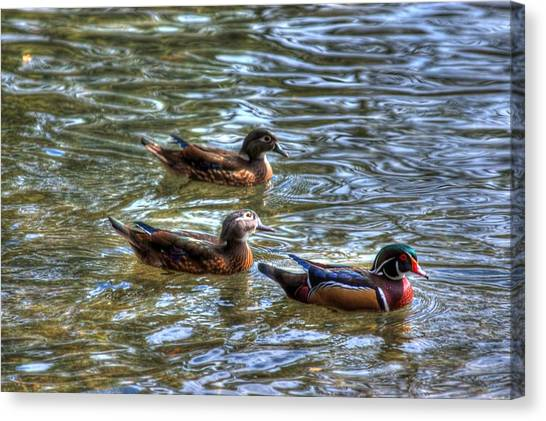 Three Mallard Ducks Canvas Print