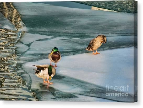 Three Mallards On Partly Frozen Lake Canvas Print