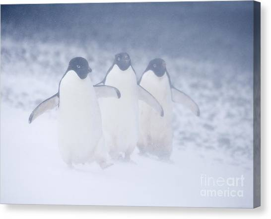 Adele Canvas Print - Three Penguins In A Blizzard by Carol Walker