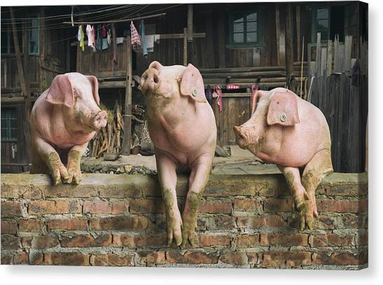 Three Pigs Having A Chat In A Remote Canvas Print by Mediaproduction