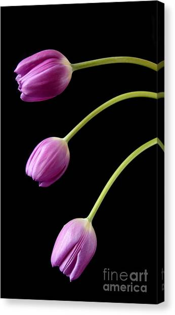 Three Purple Tulips Canvas Print