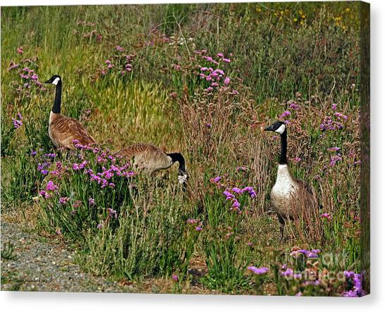 Three Quiet Canada Geese Canvas Print