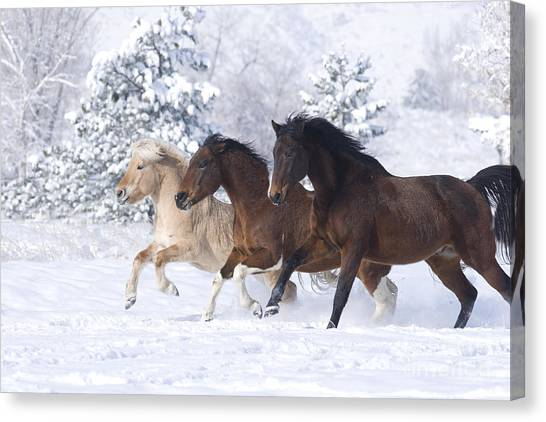 Thoroughbreds Canvas Print - Three Snow Horses by Carol Walker
