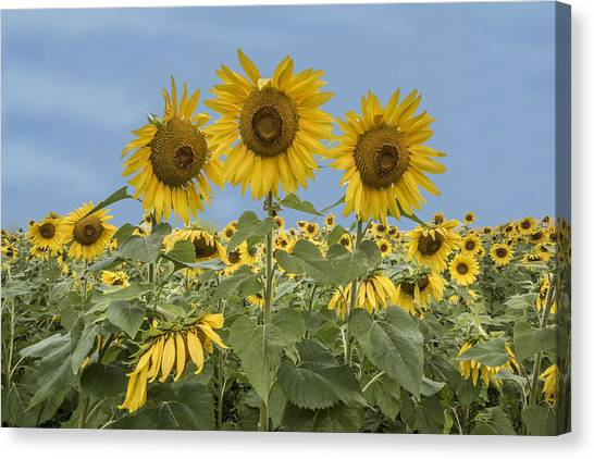 Three Sunflowers At The Front Of A Sunflower Field Canvas Print