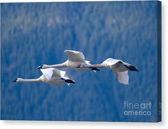 Three Swans Flying Canvas Print