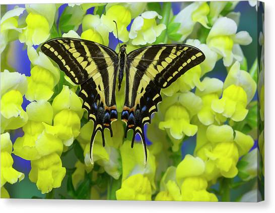 Snapdragons Canvas Print - Three-tailed Tiger Swallowtail by Darrell Gulin