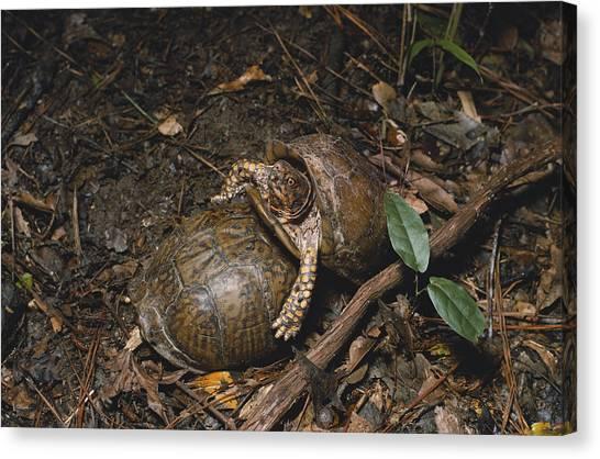 Box Turtles Canvas Print - Three-toed Box Turtles by Dan Guravich