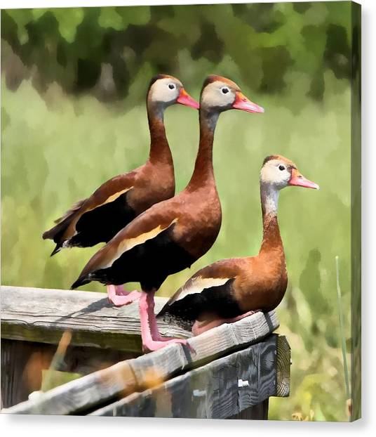 Three Whistling Ducks Canvas Print by James Stough