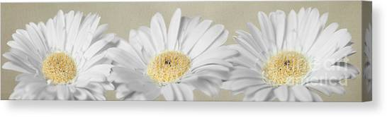 Three White Daisies Canvas Print
