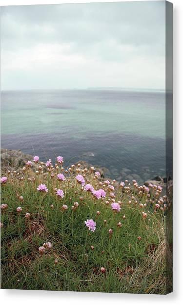 Ocean Cliffs Canvas Print - Thrift (armeria Maritima Miller) by Chris Dawe/science Photo Library