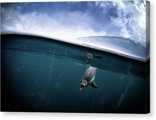 Penguins Canvas Print - Through The Interface by Justin Hofman
