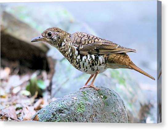 Thrush On Forest Floor Canvas Print