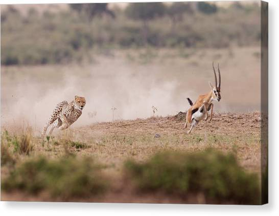 Cheetahs Canvas Print - Ti Prendo by Valerio Ferraro