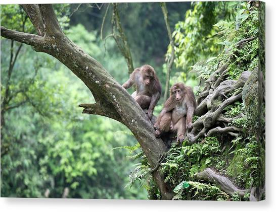 Omnivore Canvas Print - Tibetan Macaques In A Tree At Mount Emei by Tony Camacho