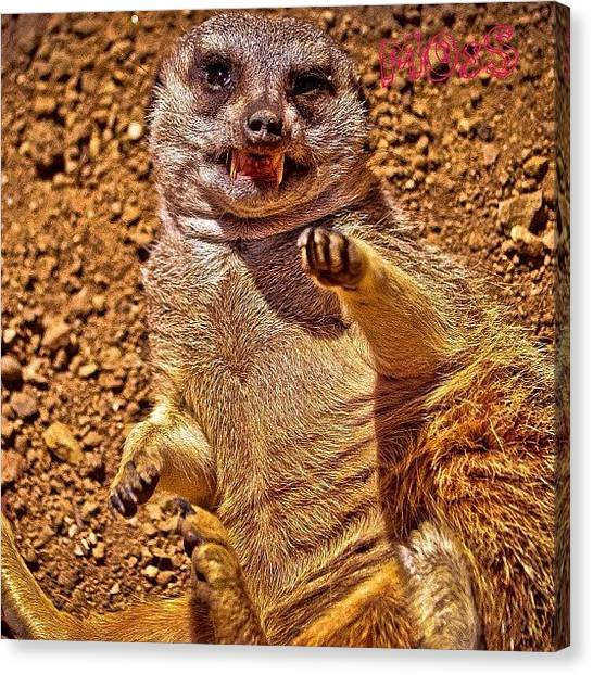 Meerkats Canvas Print - Tickling A Meerkat At The La Zoo #lazoo by Timmy Yang