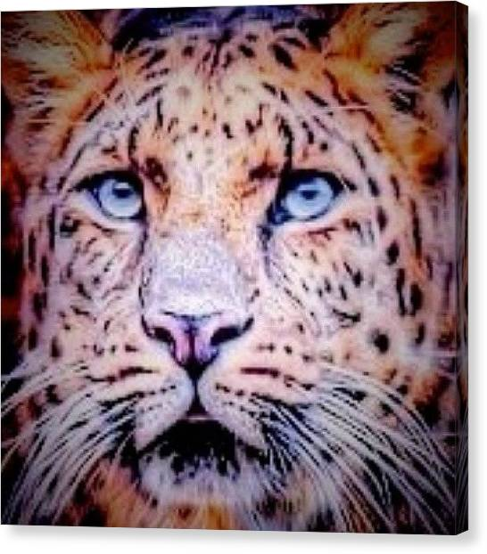 Floss Canvas Print - #tiger #blueeyes #eyes #twenty20 by Candy Floss Happy