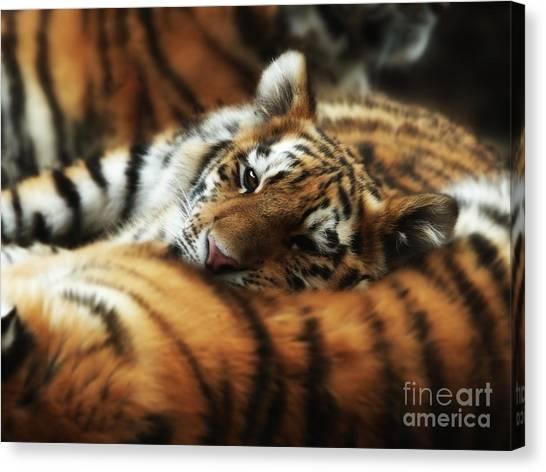 Tiger Cub Resting On Mom's Back Canvas Print