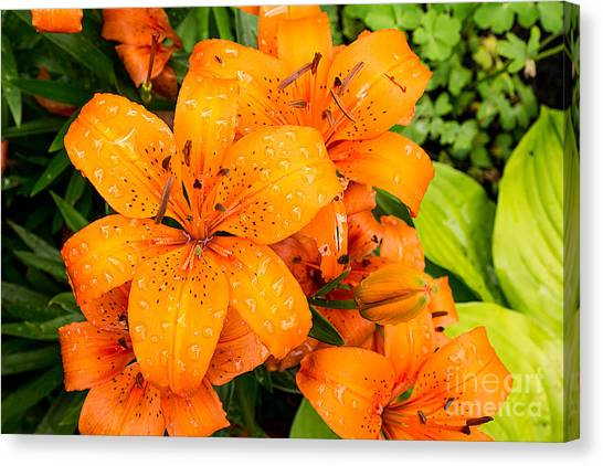 Tiger Lily After Morning Rain Canvas Print