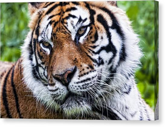 Tiger On Grass Canvas Print