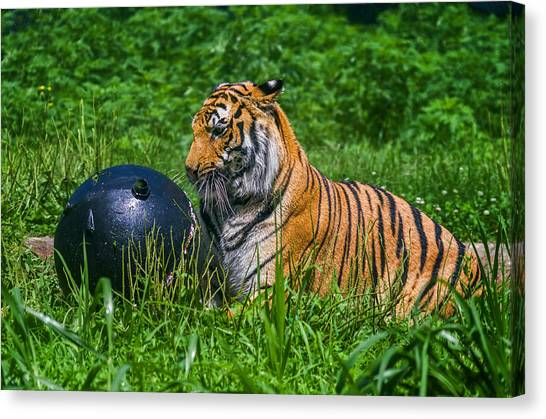 Tiger Playing With Ball Canvas Print