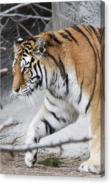 Tiger Prowls Canvas Print by Michael Petrick