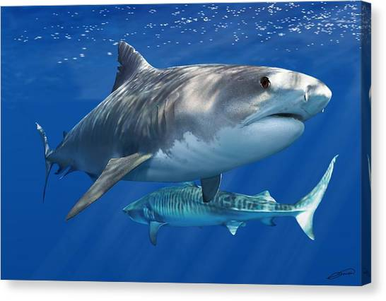 Tiger Sharks Canvas Print - Tiger Shark by Owen Bell