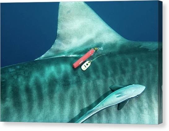 Tiger Sharks Canvas Print - Tiger Shark Tagging by Roger Munns, Scubazoo/science Photo Library