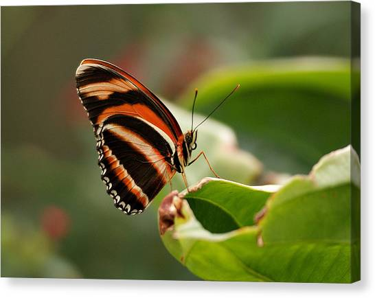 Tiger Striped Butterfly Canvas Print
