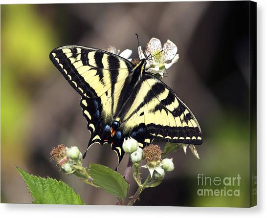 Tiger Swallowtail Butterfly 2a Canvas Print by Sharon Talson