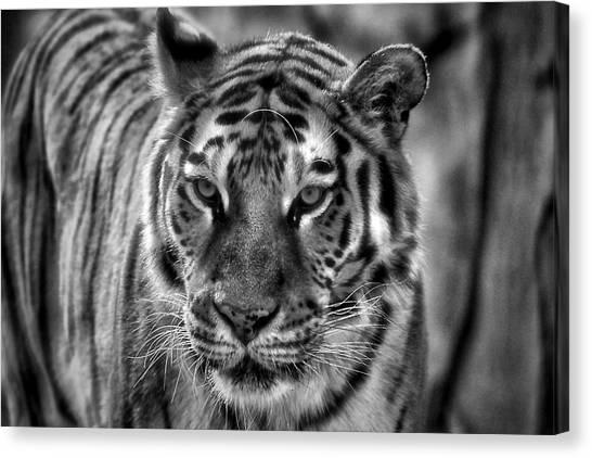 Tiger Tiger Monochrome Canvas Print