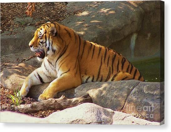 Tiger Tough Canvas Print