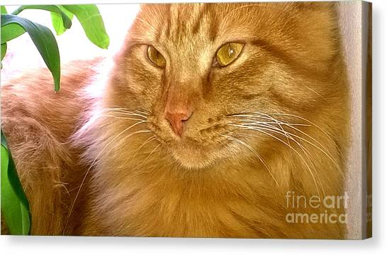 Main Coons Canvas Print - Tiger's Eye by Alice Kay H