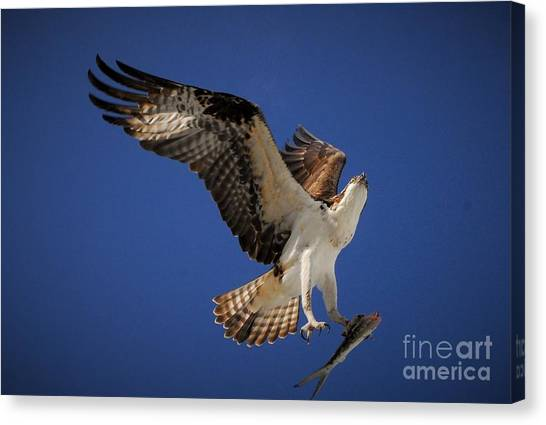Osprey Canvas Print - Tight Grip by Quinn Sedam