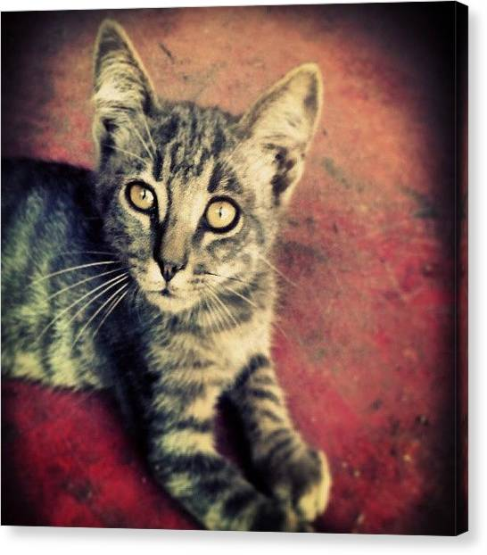 Kittens Canvas Print - Tigro! by Emanuela Carratoni