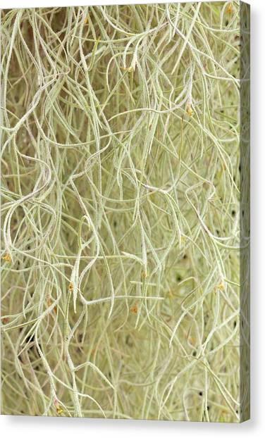 Bromeliad Canvas Print - Tillandsia Usneoides by Geoff Kidd/science Photo Library