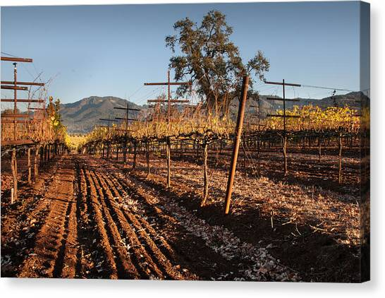 Tilling The Vineyards Canvas Print by Kent Sorensen