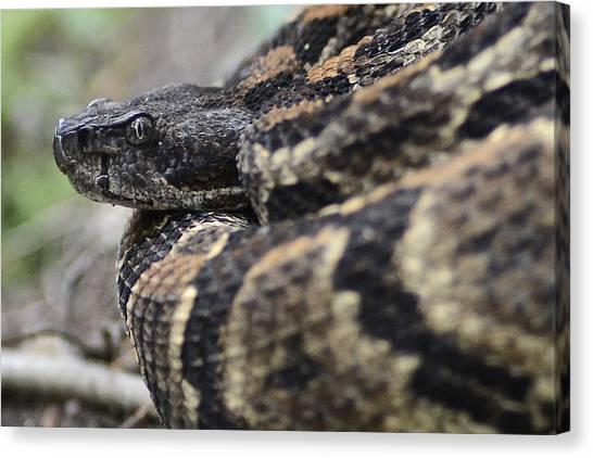 Timber Rattlesnakes Canvas Print - Timber Rattler - Rattlesnake In North Carolina by Matt Plyler