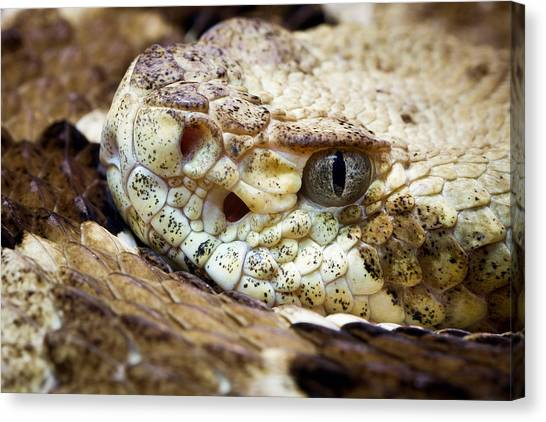Timber Rattlesnakes Canvas Print - Timber Rattlesnake Crotalus Horridus by David Kenny