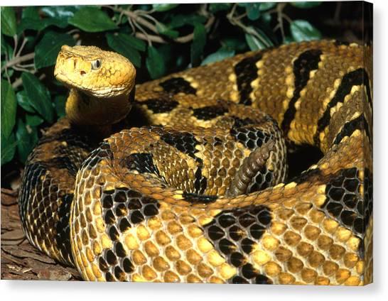 Timber Rattlesnakes Canvas Print - Timber Rattlesnake by John Mitchell