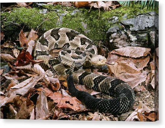 Timber Rattlesnakes Canvas Print - Timber Rattlesnake Pit Viper Crotalus by Animal Images