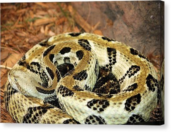 Timber Rattlesnakes Canvas Print - Timber Rattlesnake by Sheril Cunane