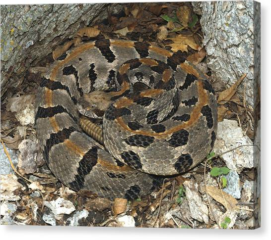Timber Rattlesnakes Canvas Print - Timber Rattlesnake by Suzanne L. Collins