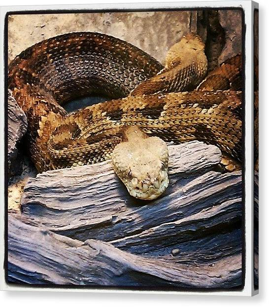 Rattlesnakes Canvas Print - #timber #timberrattlesnake #rattle by Rick Kuperberg Sr