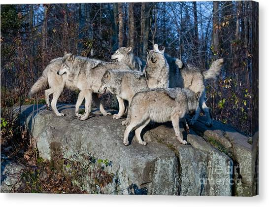 Timber Wolf Pack Canvas Print
