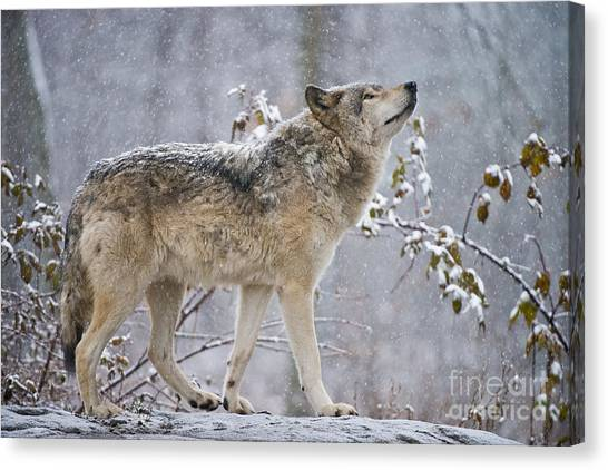 Timber Wolf Pictures 188 Canvas Print